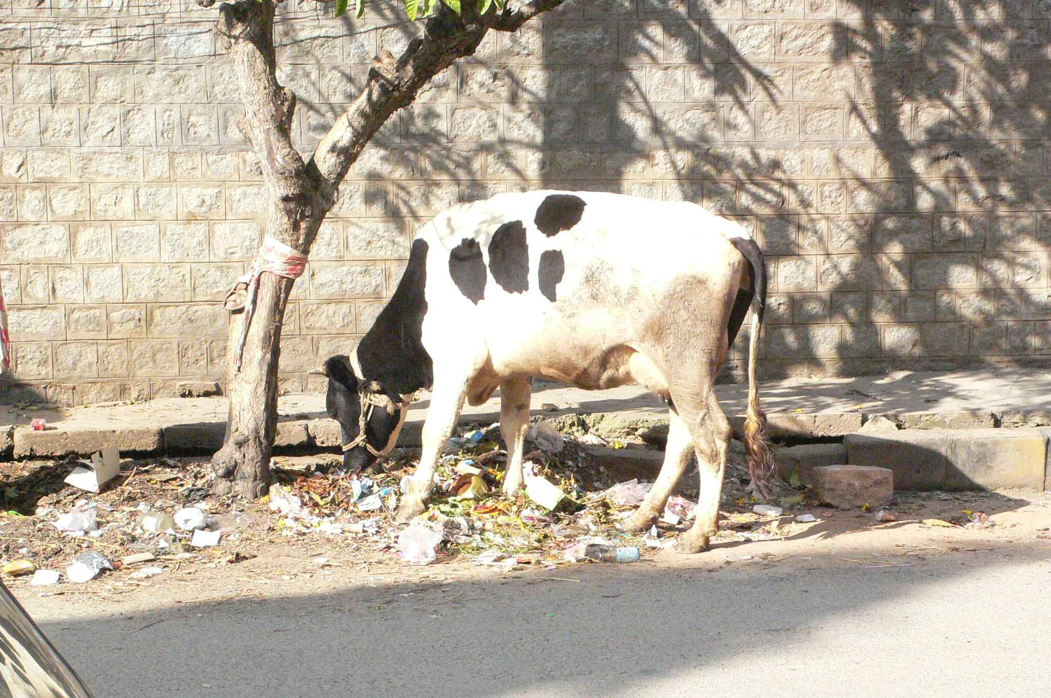 The nearby holy cow